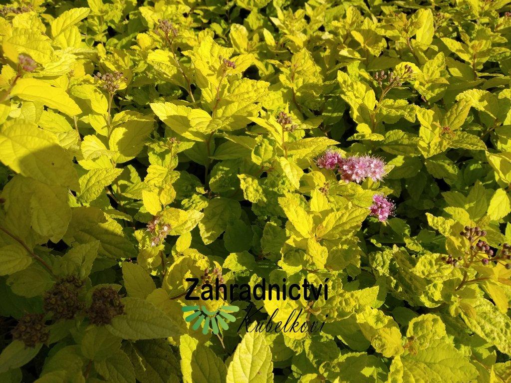 Tavolník - Spiraea japonica 'Goldmound' 1 l
