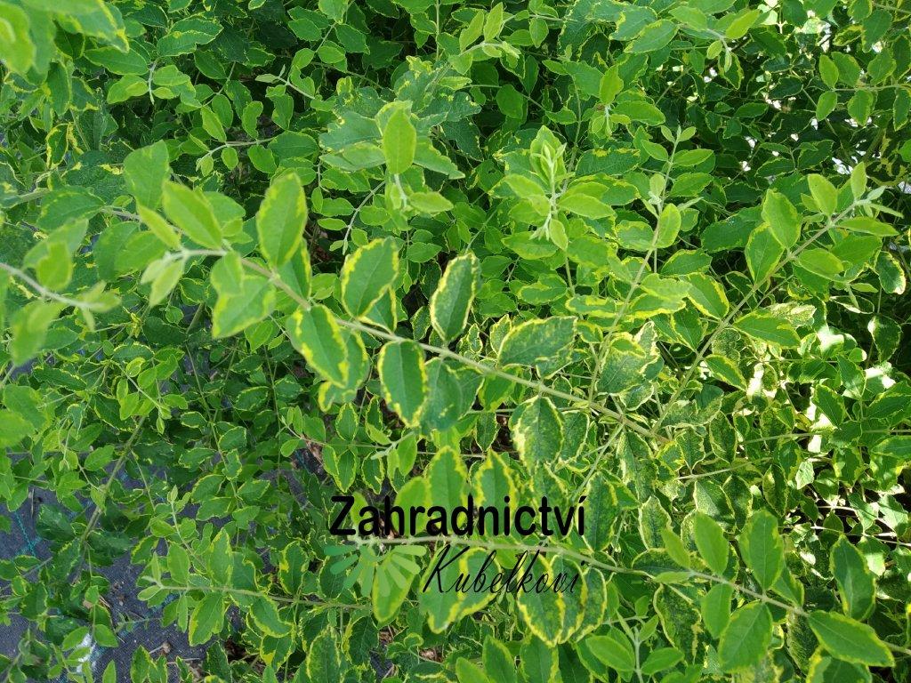Pámelník červený - Symphoricarpos orbiculatus 'Aureovariegata'