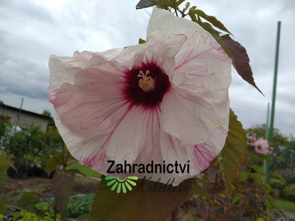 Ibišek americký - Hibiscus moscheutos 'Summerific Cherry Cheesecake'