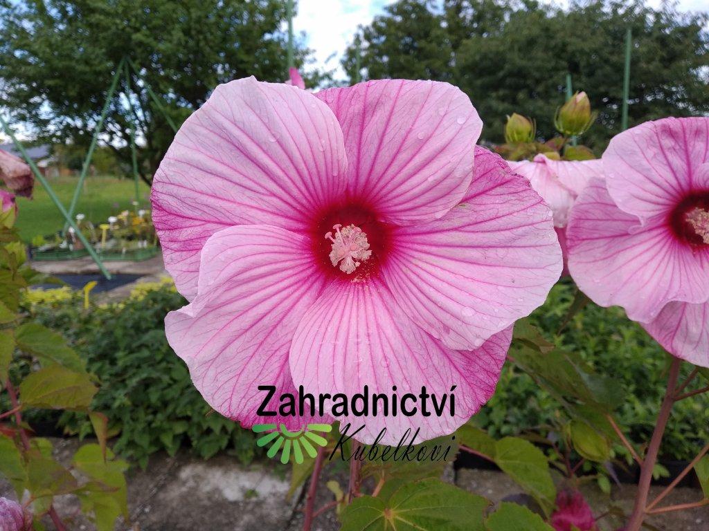 Ibišek americký - Hibiscus moscheutos 'Planet Solene Tansol'