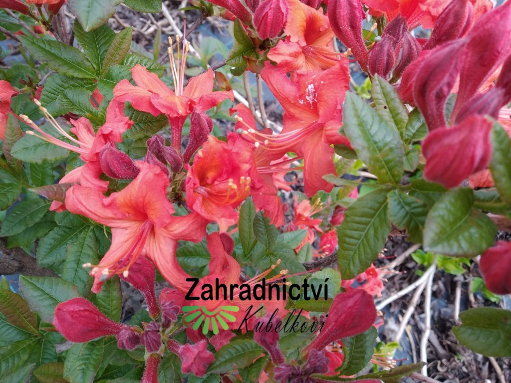 Azalka opadavá - Azalea Knap Hill 'Hotspur Red'