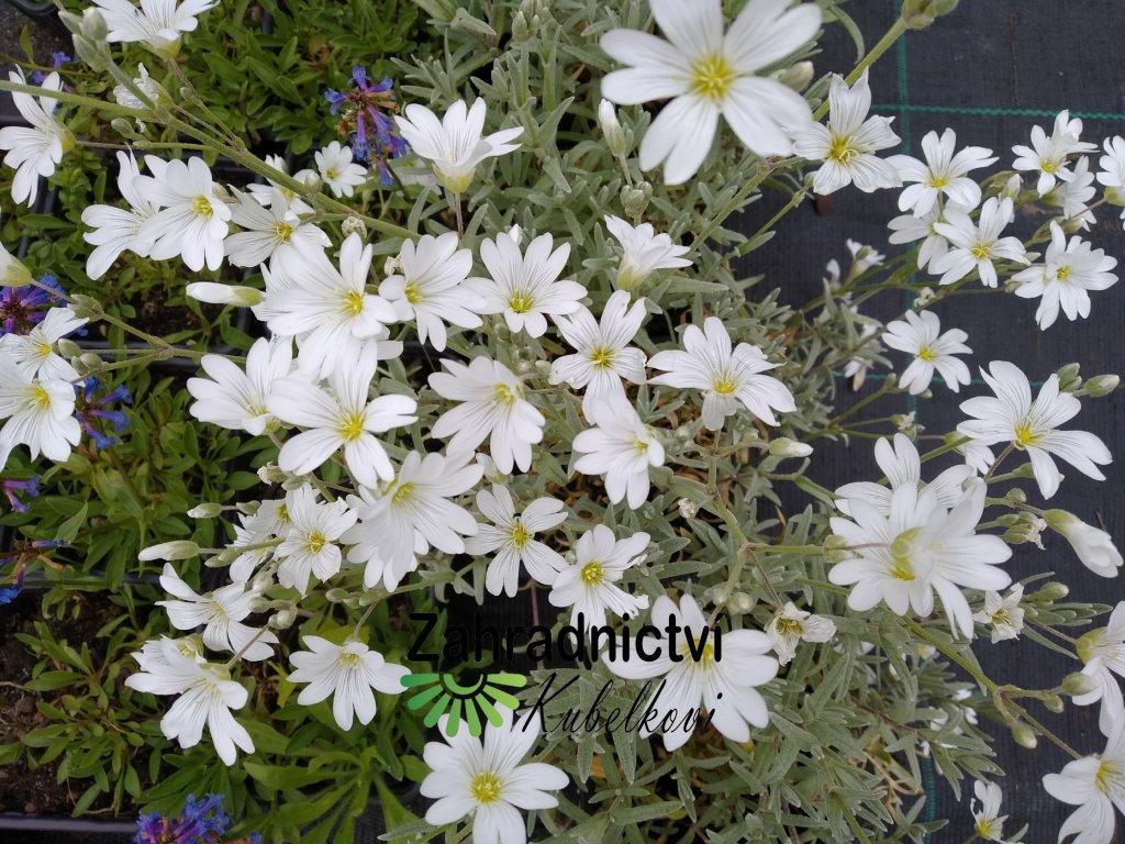 Rožec plstnatý - Cerastium tomentosum
