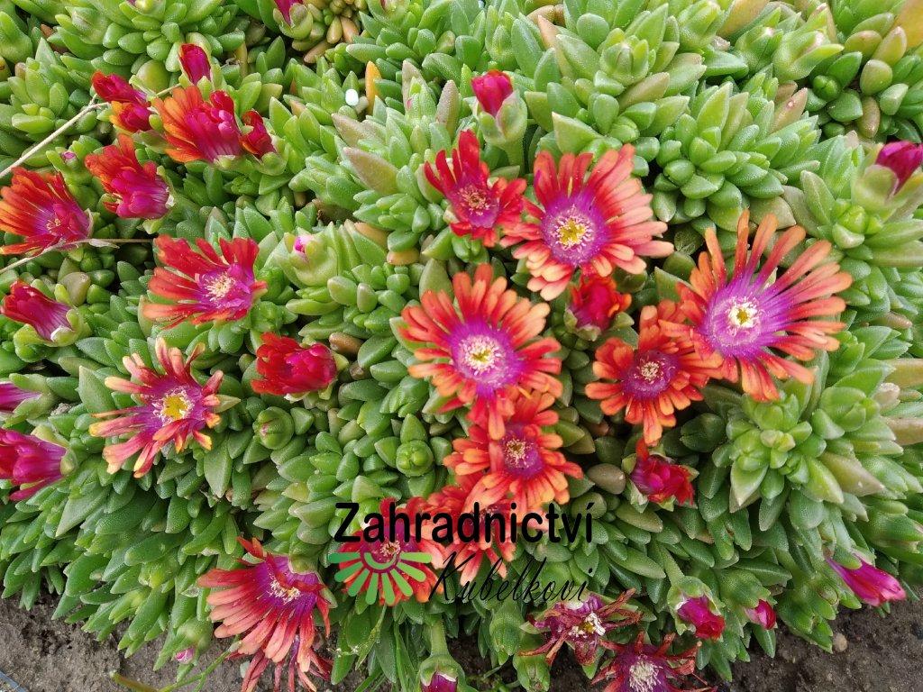 Kosmatec - Delosperma hnědooranžový květ