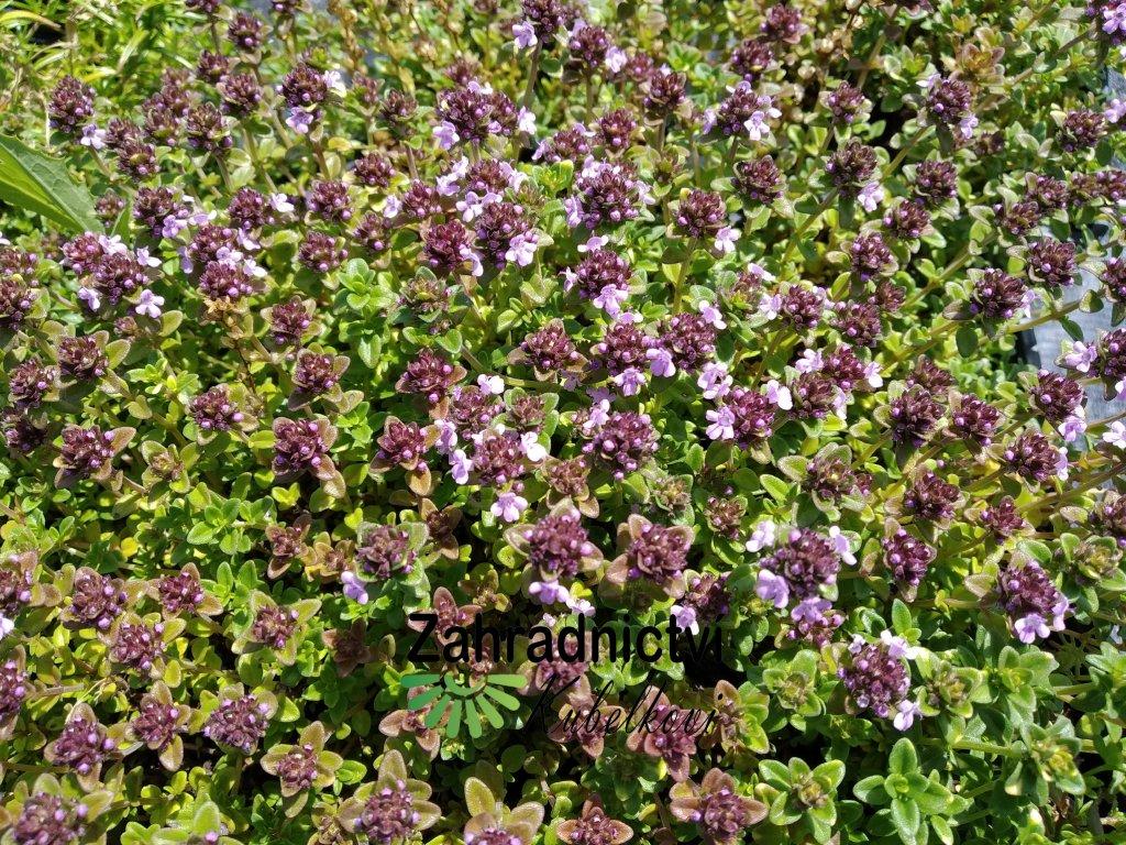 Mateřídouška - Thymus comosus 'Doone Valley'