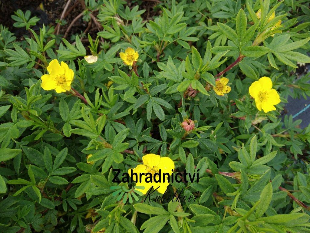 Mochna křovitá - Potentilla fruticosa 'Klondike'