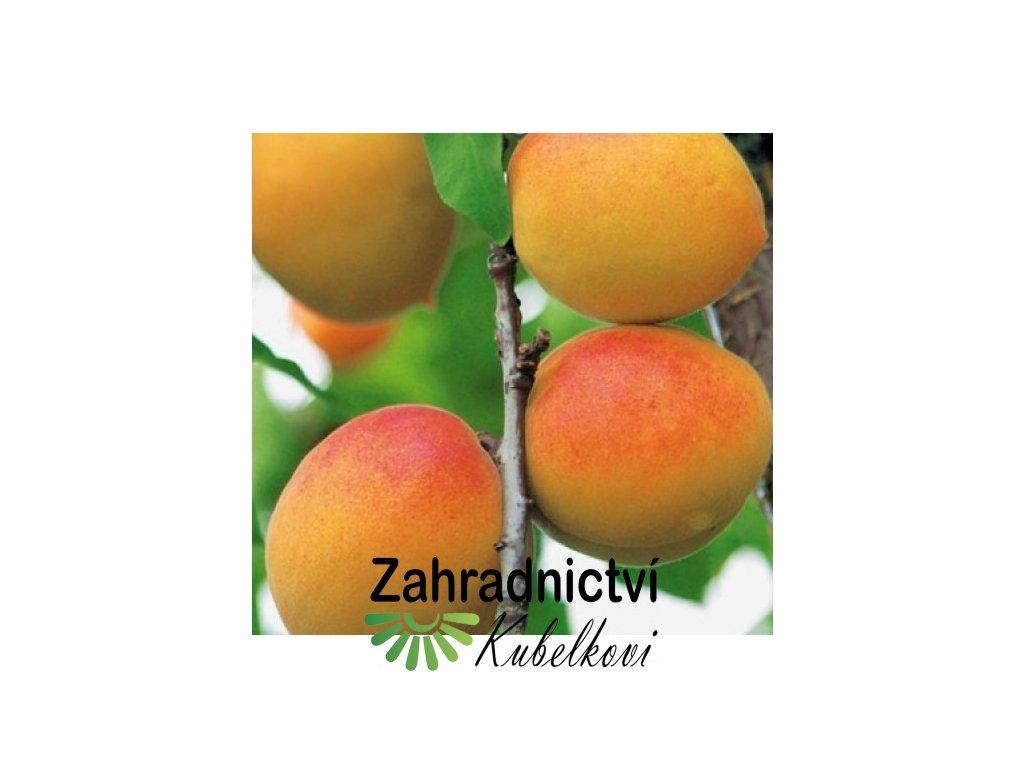 Meruňka goldrich2