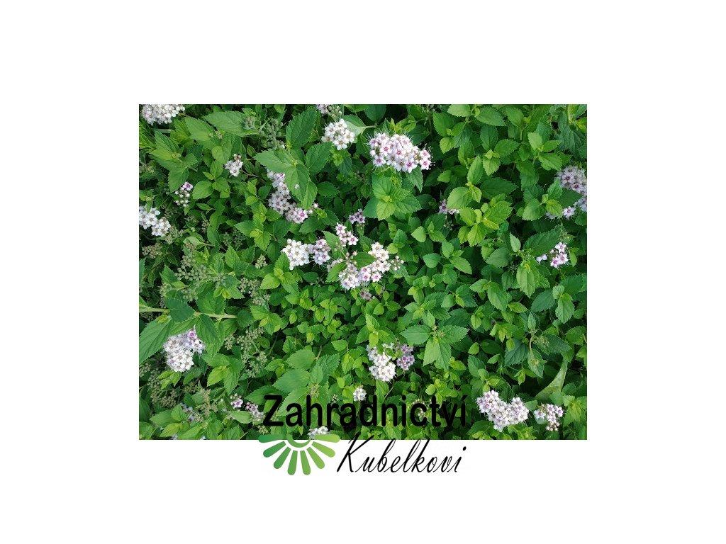 Tavolník - Spiraea japonica 'Little Princess' 1 l