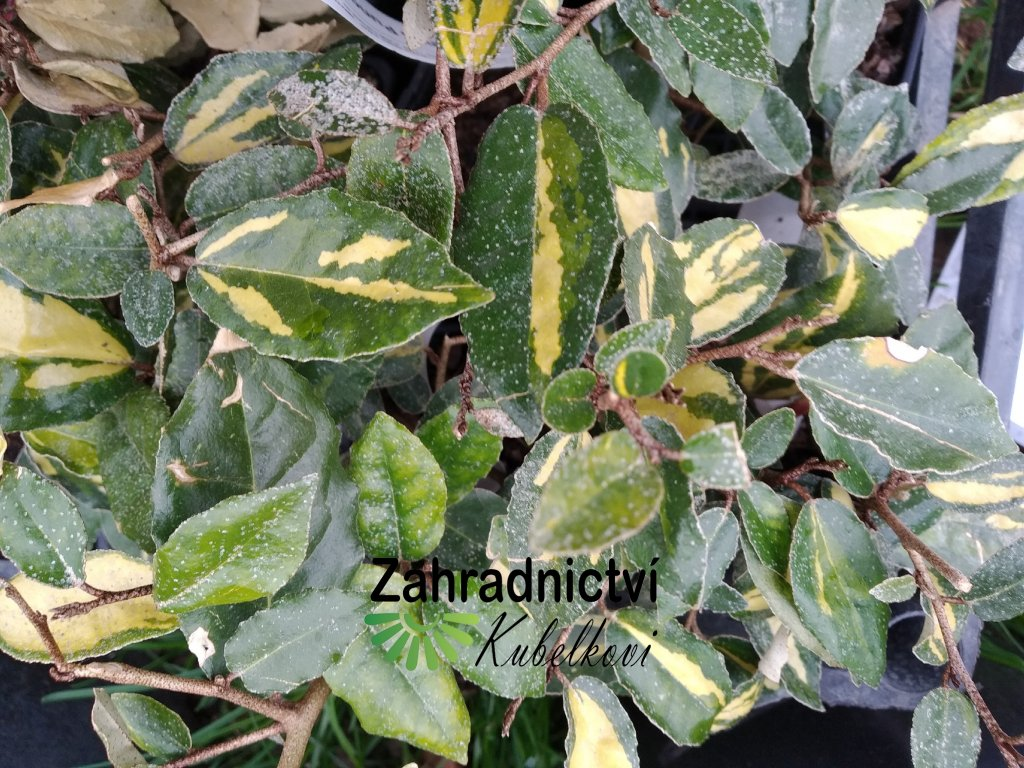 Hlošina pichlavá 'Maculata' - Elaeagnus pungens 'Maculata'