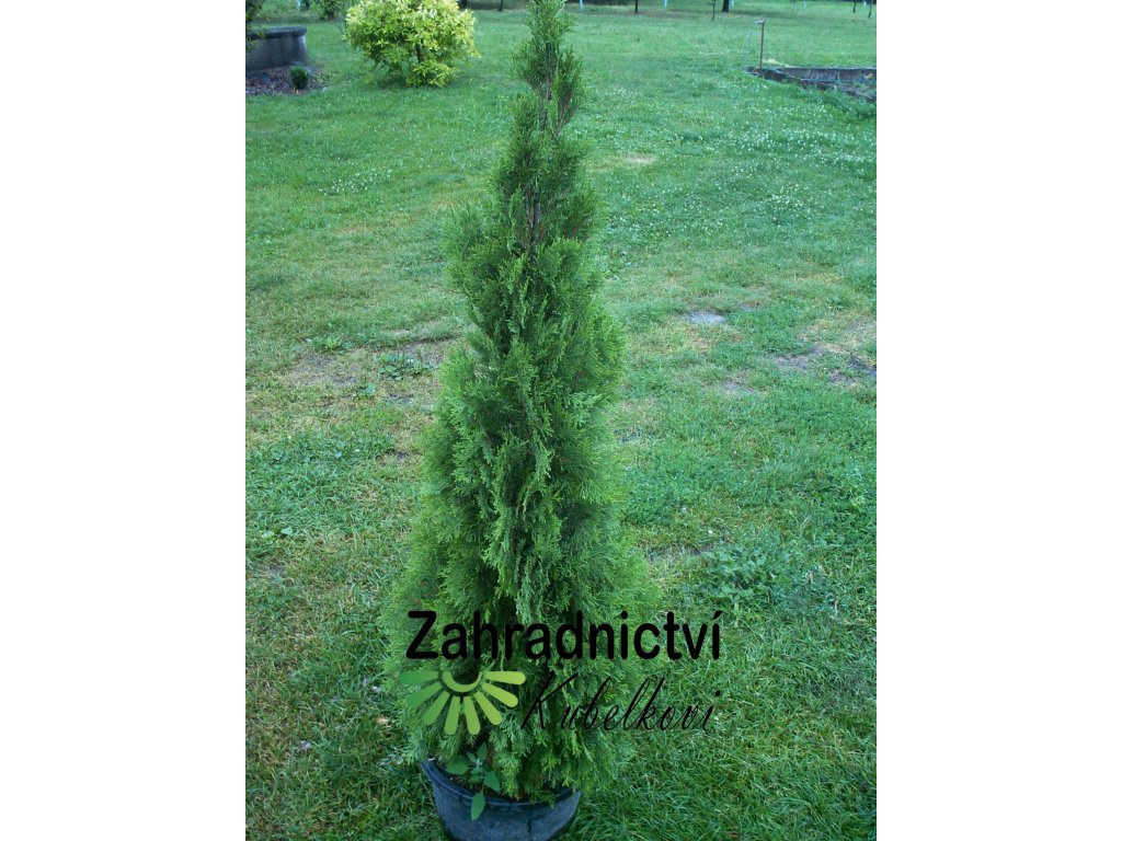 Thuja occidentalis Smaragd1