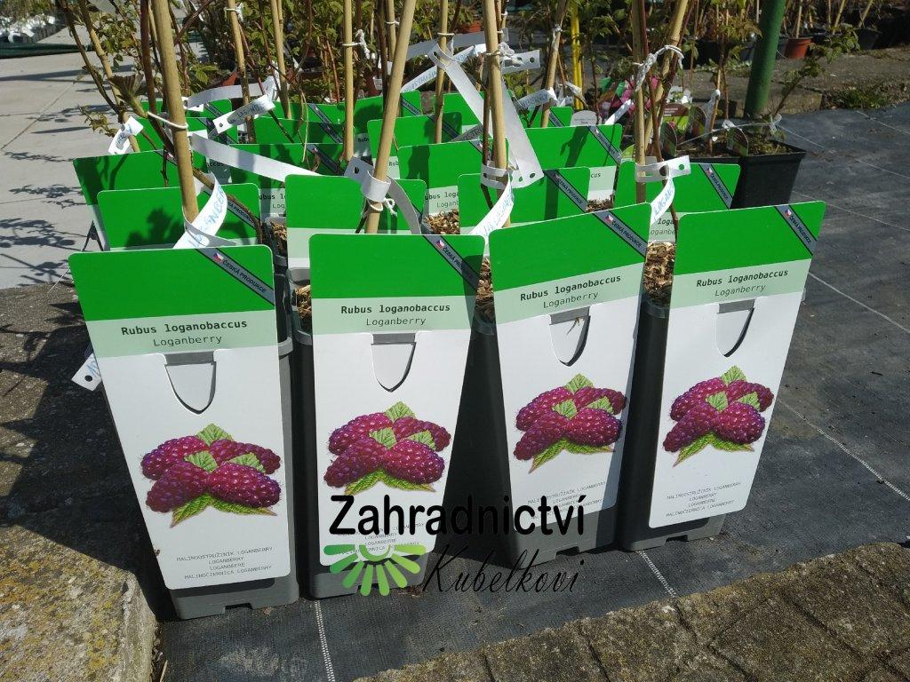 Malinoostružina - Rubus loganobaccus 'Loganberry'