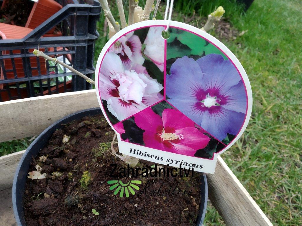 Ibišek syrský - Hibiscus syriacus - tříbarevný jednoduchý