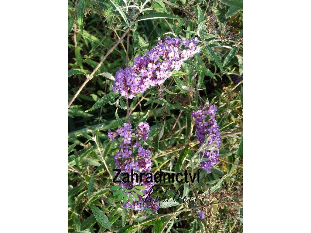 Motýlí keř - Buddleia davidii 'Nanho Blue' 1 l