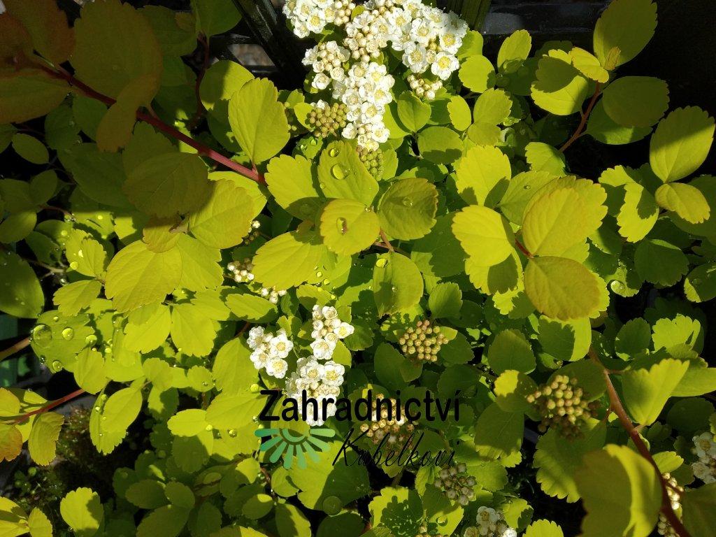 Tavolník - Spiraea betulifolia 'Tor Gold'