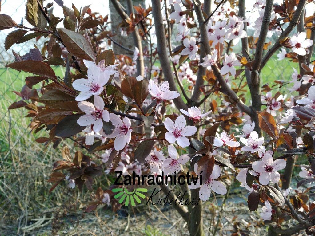 Myrobalán - Prunus cerasifera 'Nigra'