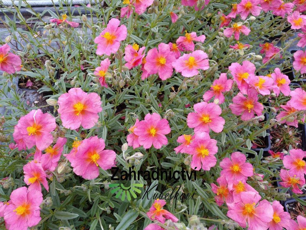 Devaterník - Helianthemum 'Wisley Pink'