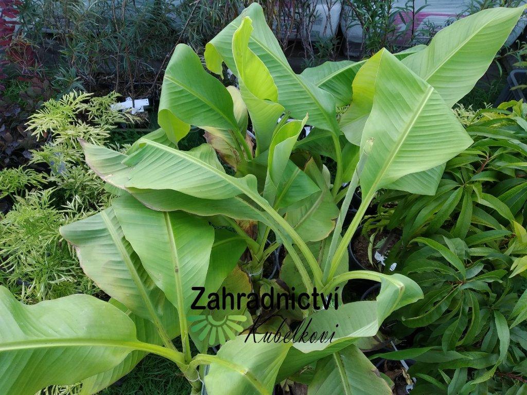 Banánovník japonský 'Sakhalin'