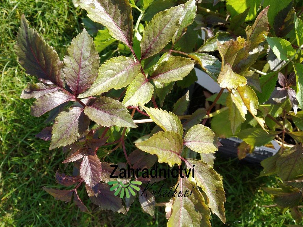 Černý bez - Sambucus nigra 'Haschberg' 9x9