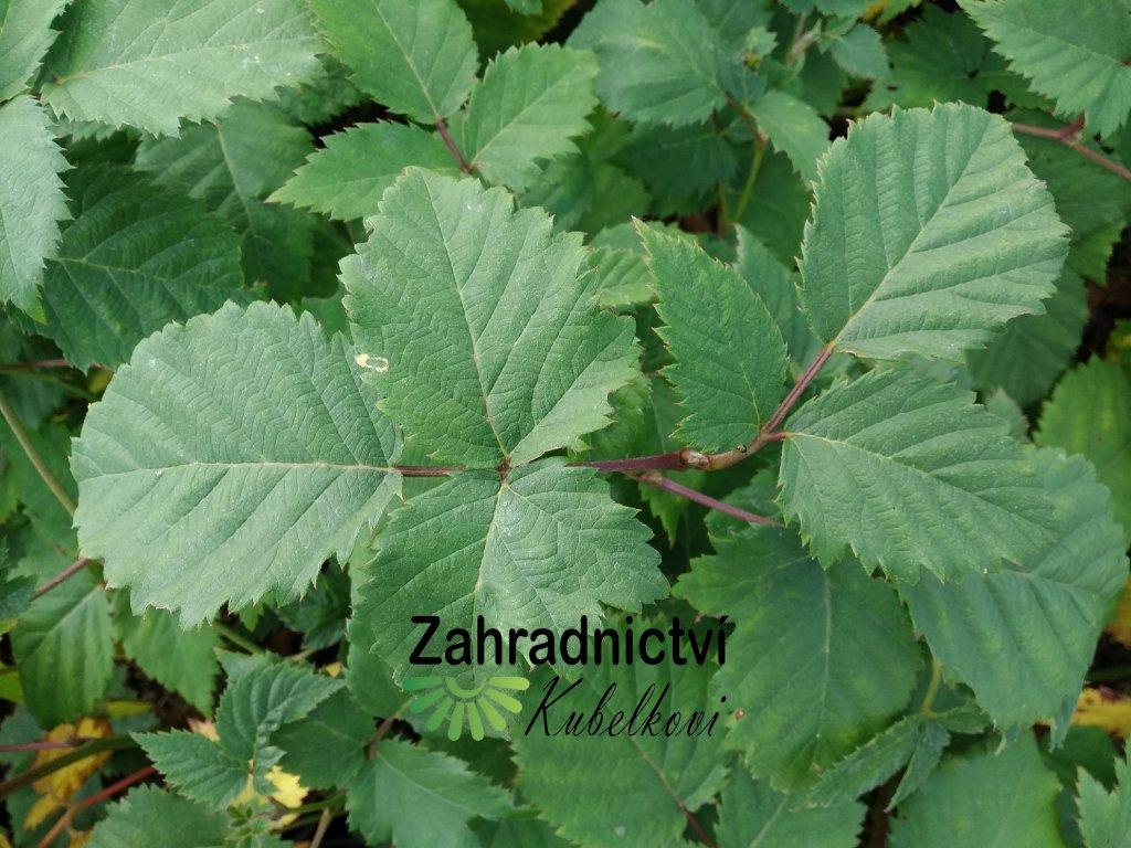 Ostružina (bezrtnná) - Rubus fruticosus 'Čačanská'