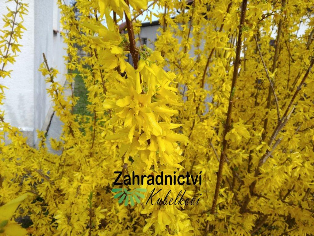Zlatice prostřední - Forsythia intermedia 'Weekend'