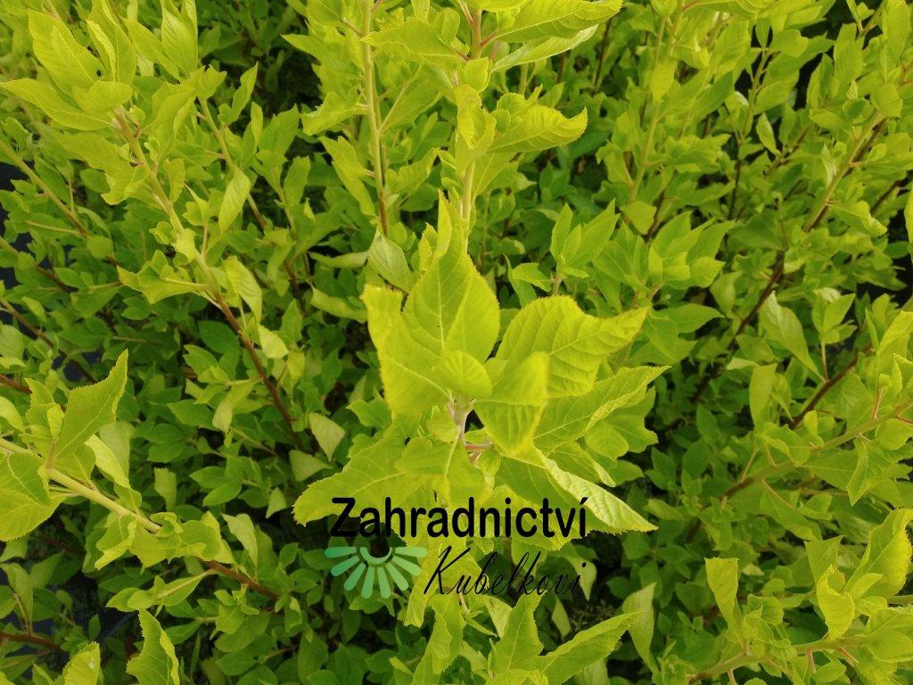 Jochovec olšolistý - Clethra alnifolia 'Pink Spire'