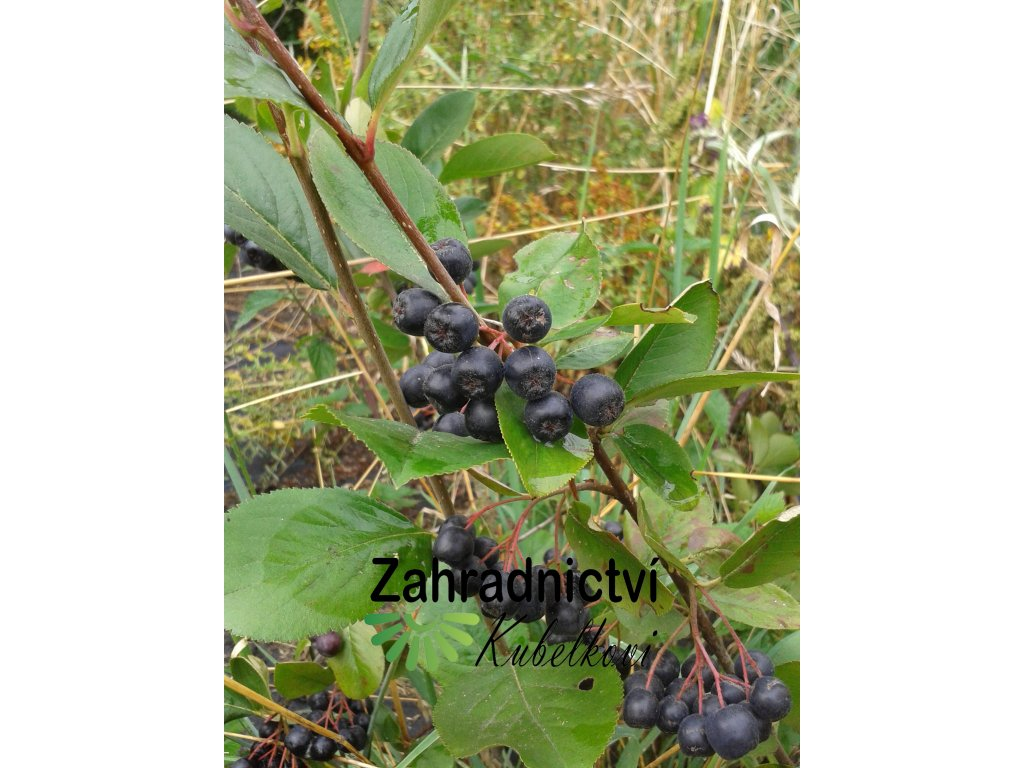 Černý jeřáb - Aronia melanocarpa 'Nero' - keř 1 l
