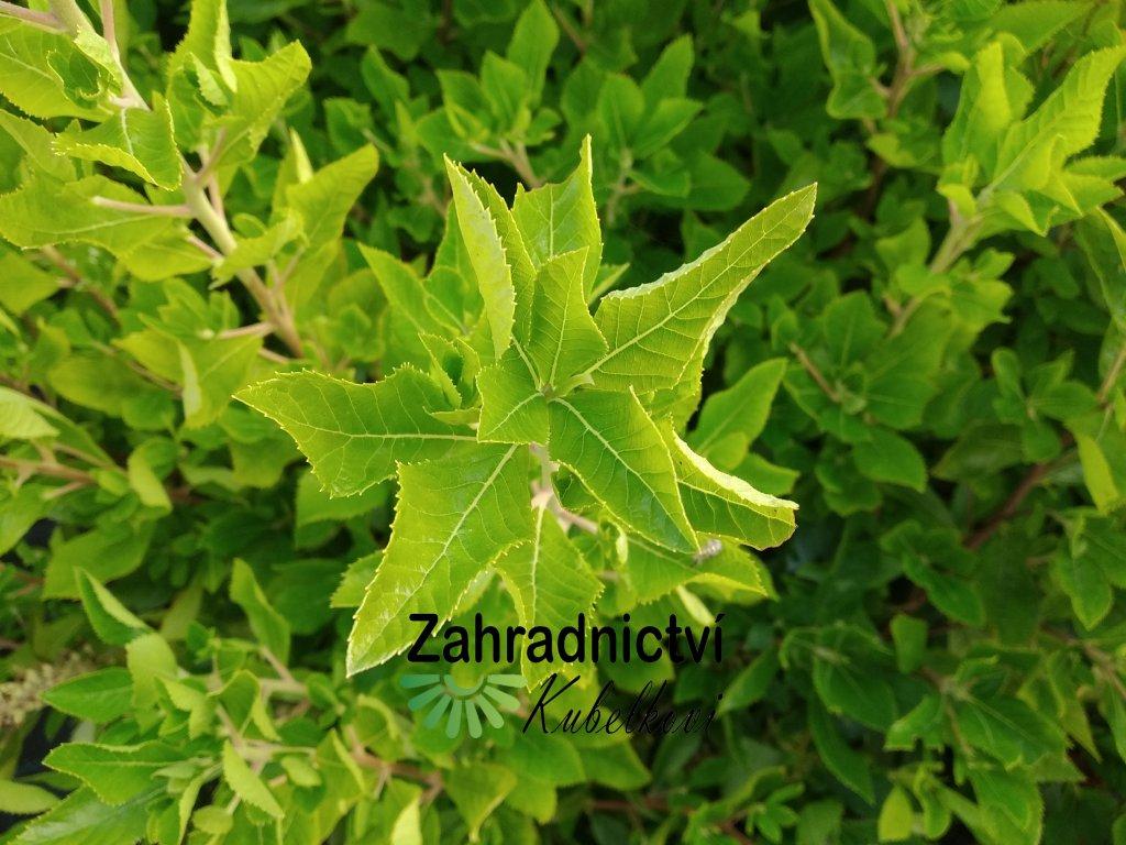 Jochovec olšolistý - Clethra alnifolia 'Hummingbird'