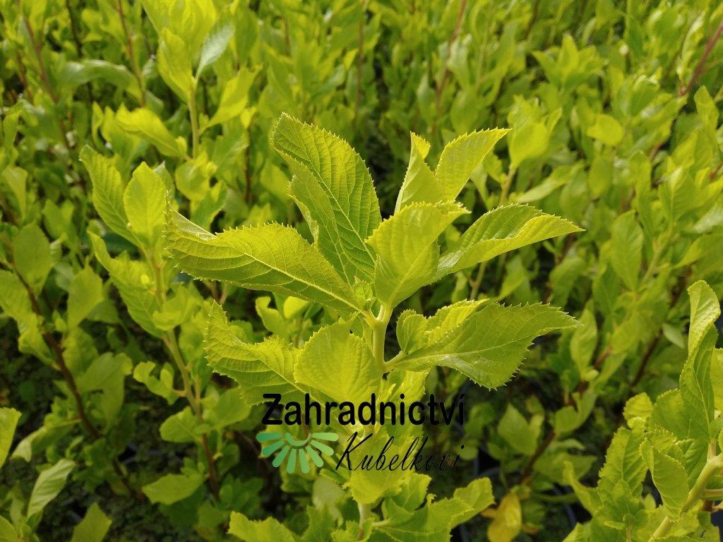 Jochovec olšolistý - Clethra alnifolia 'Ruby Spice'