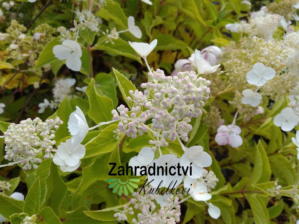 Hortenzie - Hydrangea paniculata 'Ping Lady' 1 l