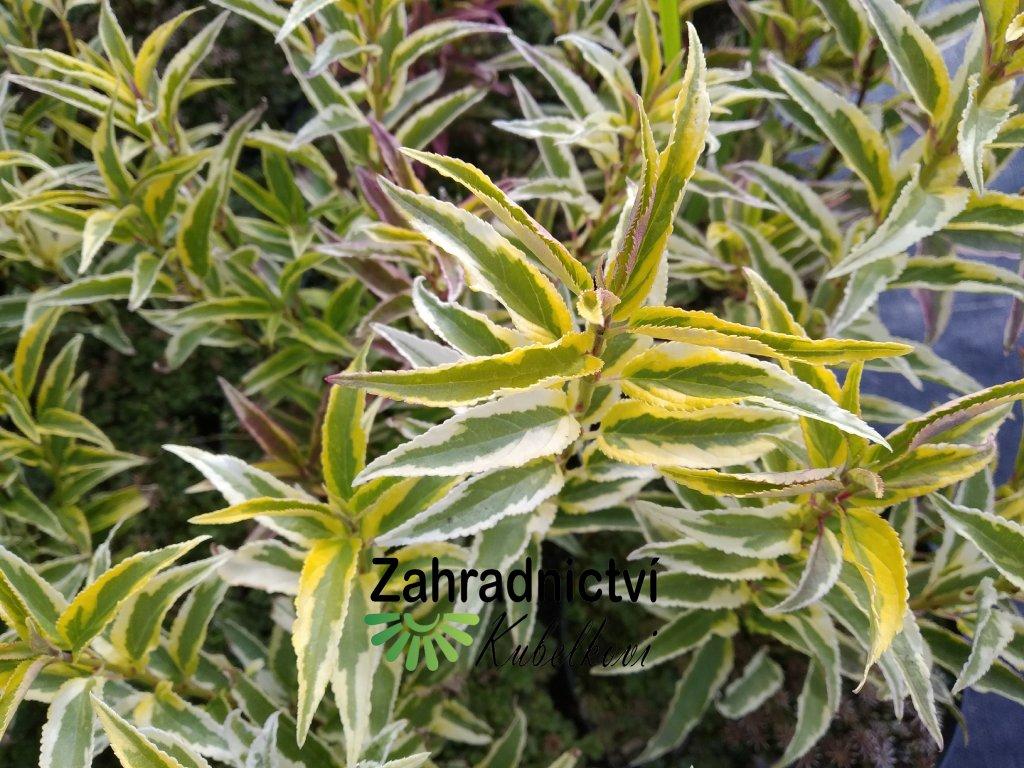 Trojpuk něžný - Deutzia gracilis 'Variegata'