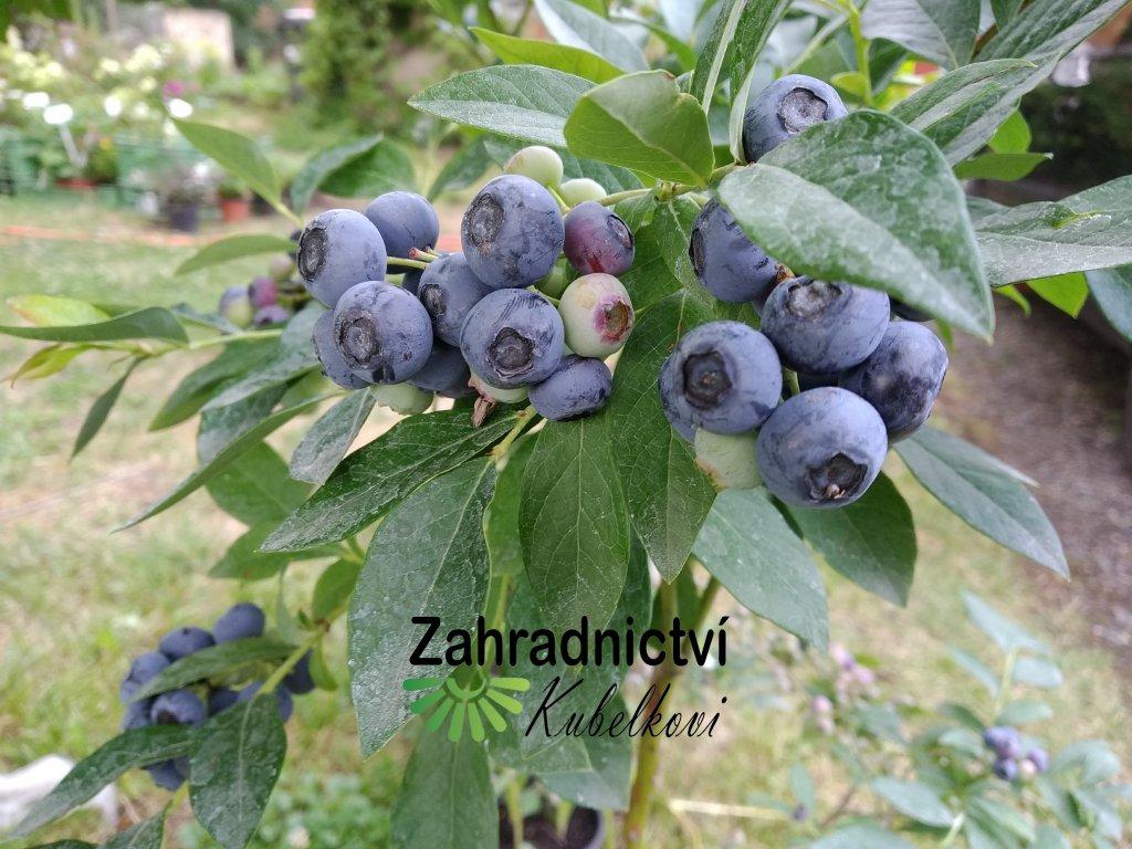 Kanadská borůvka 'Elizabeth' - Vaccinium corymbosum 'Elizabeth'