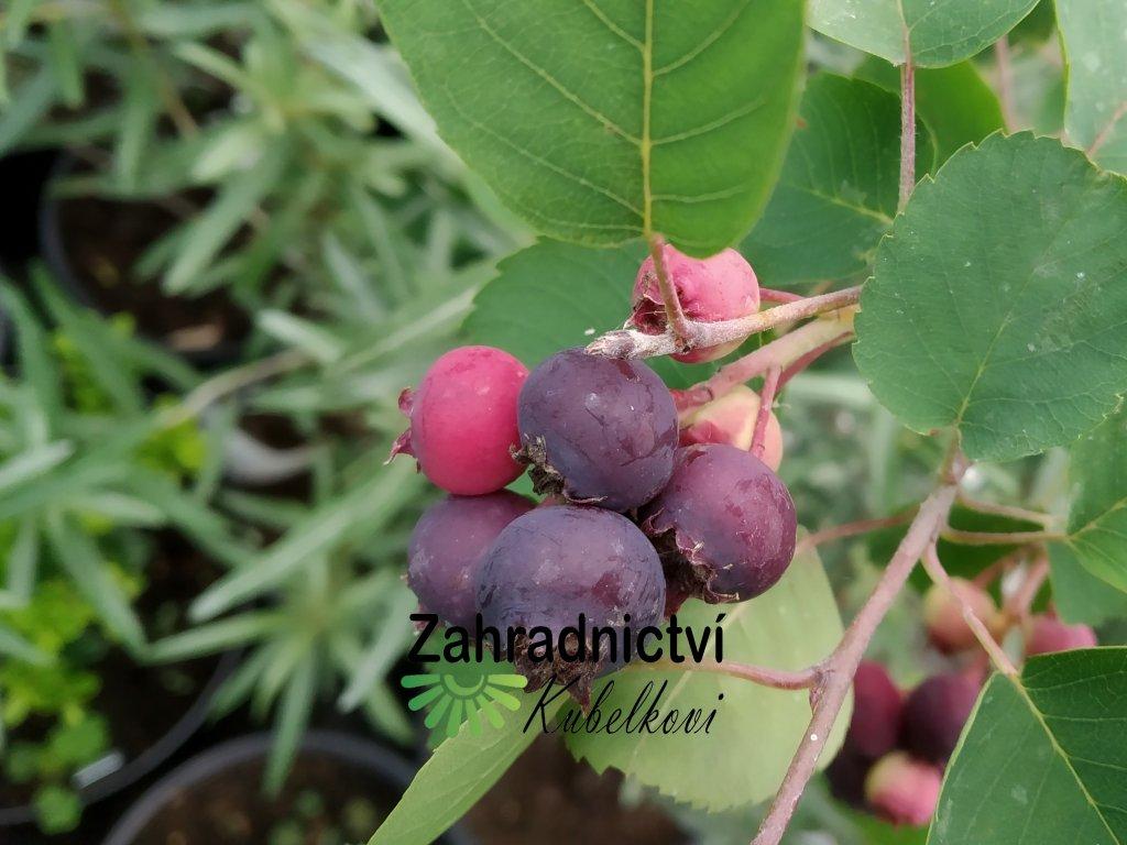 Muchovník - Amelanchier alnifolia var. 'Cusickii'