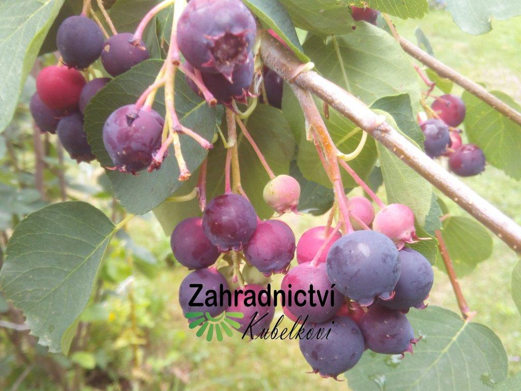 Muchovník - Amelanchierova borůvka - Amelanchier alnifolia var. 'Cusickii'