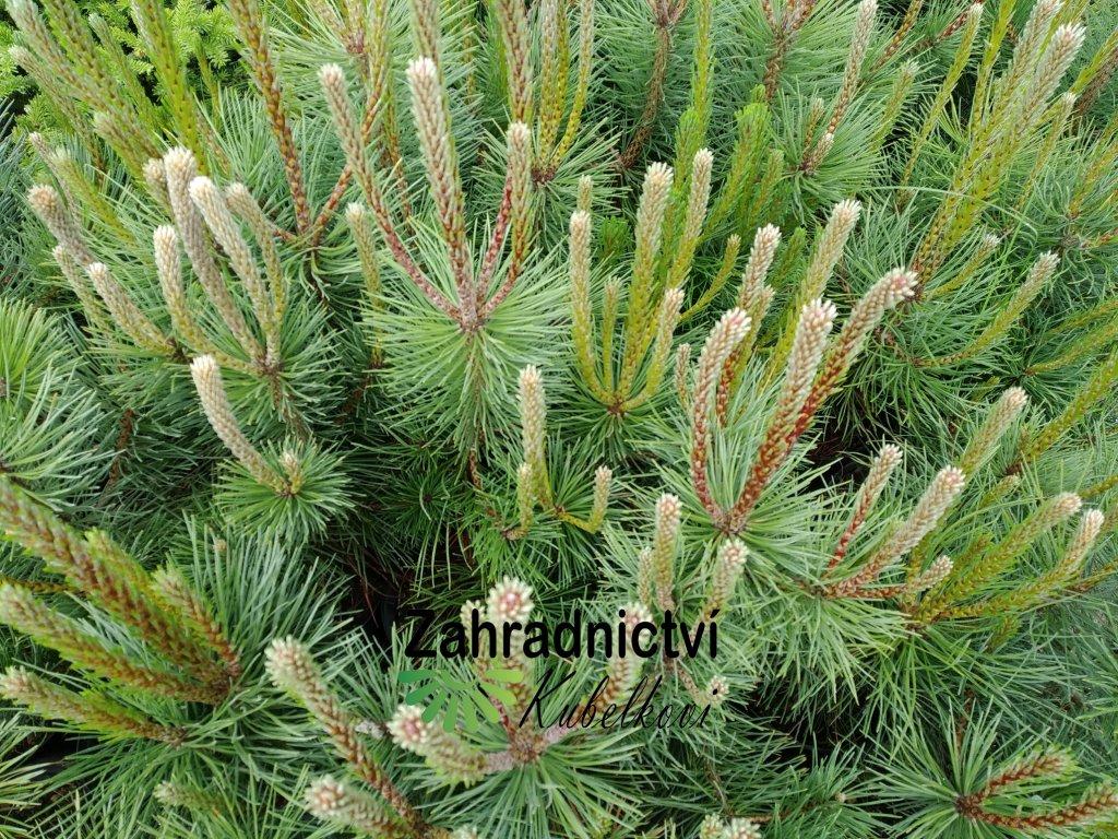 Borovice černá - Pinus nigra 2 l