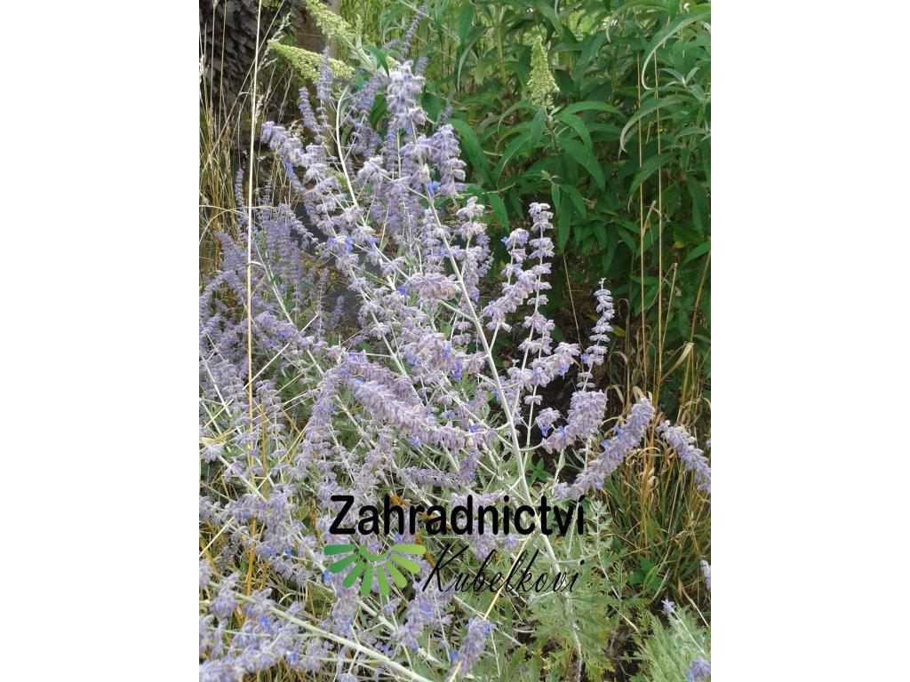 Perovskie lebedolistá - Perovskia atriplicifolia 'Blue Spire'