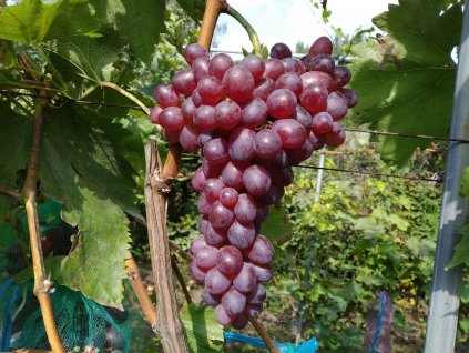 Vinná réva stolní - 'Elma' PROSTOKOŘENÁ