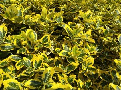 Evonymus Emerald Gold.