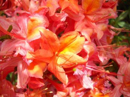 Azalka opadavá - Azalea Knap Hill 'Glowing Embers' 1,5 l