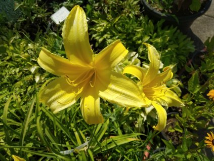 Denivka žlutá - Hemerocallis