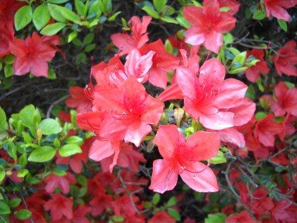 Azalka japonská - Azalea japonica 'Orange Beauty'
