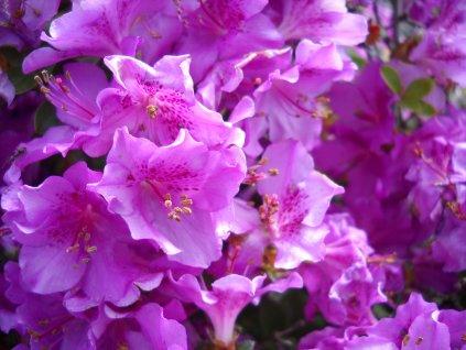 Azalka japonská - Azalea japonica 'Perfection' 2 l