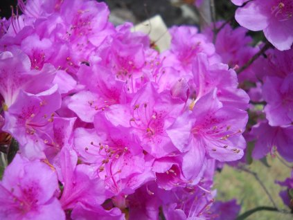 Azalka japonská - Azalea japonica 'Vuyk's Scarlet' 5 l