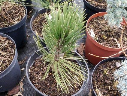 Borovice bílokorá - Pinus leucodermis 'Satelit'