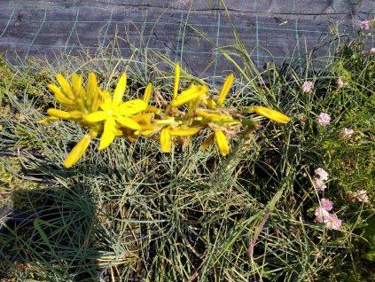 Jákobova hůl - Asphodeline lutea