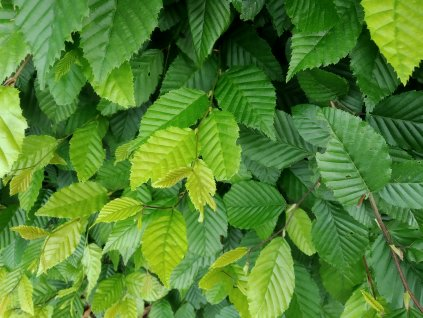 Habr obecný - Carpinus betulus 1 l