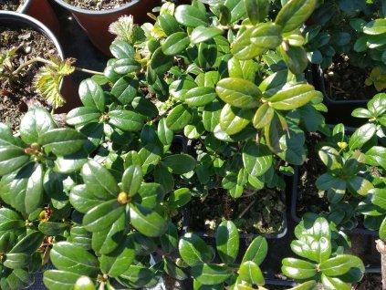 Brusinka - Vaccinium vitis-idaea 'Red Pearl'