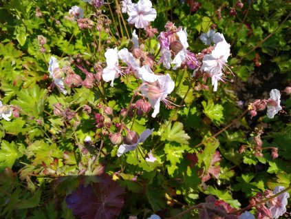 Kakost - Geranium x cantabrigiense 'Biokovo'
