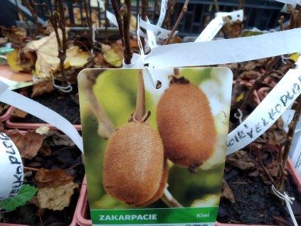 Kiwi - Actinidia 'Zakarpacie' - velkoplodé