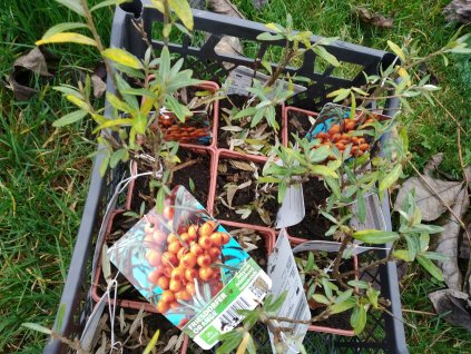 Rakytník řešetlákovitý 'Friesdorf Orange' - SAMOSPRAŠNÝ - Hippophae rhamnoides