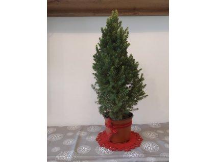 Vánoční strom - Smrk sivý homolovitý