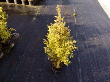 Jalovec obecný - Juniperus communis 'Gold Cone' 2 l